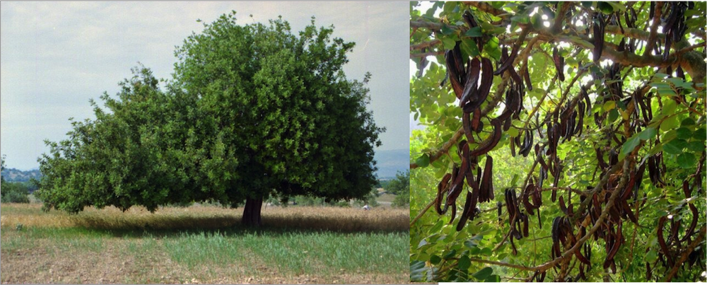 carob-tree-pod